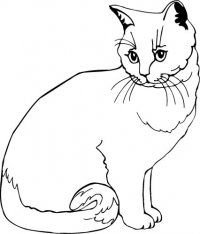 British Cream Cat (B)